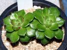 Sedum cuspidatum X Echeveria setosa var. ciliata